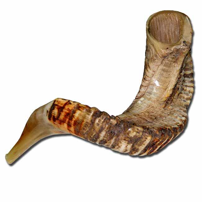 100 kosher x large jericho ram horn shofar. Black Bedroom Furniture Sets. Home Design Ideas