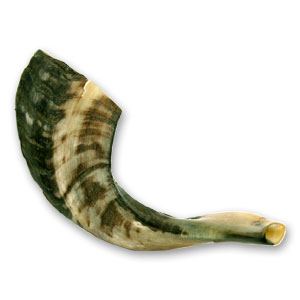 Medium Rams Horn Shofar Size 12-14 in 30-35 cm